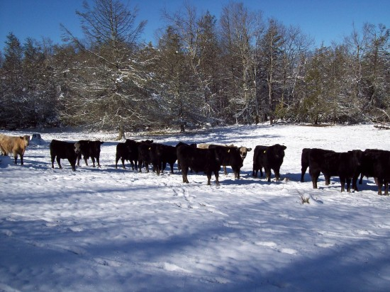 Jan19 cows2 Sherry Greene 550x412 Jan 19 20 Conditions/Reports