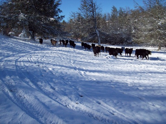 Jan19 cows3 Sherry Greene 550x412 Jan 19 20 Conditions/Reports