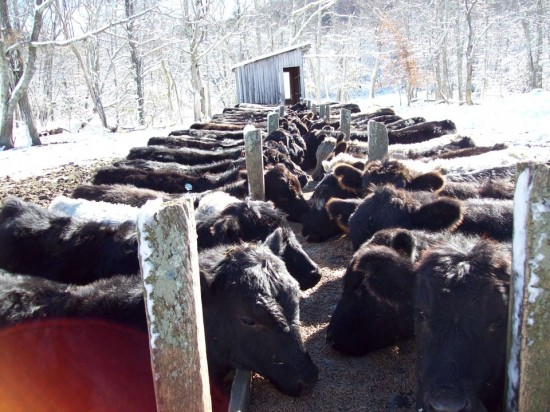 Jan19 cows Sherry Greene 550x412 Jan 19 20 Conditions/Reports