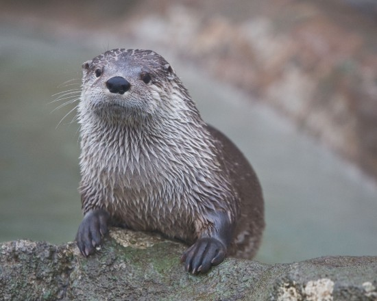 Grandfather Mountain's Santee The Otter Passes Away